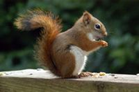 North American Red Squirrel