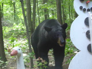 Black bear looking at Snowman. Snowman remembers to never let them see you sweat.  June 8 2007 CLICK FOR LARGER IMAGE.