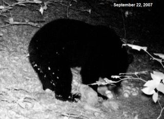 Michigan Black Bear. Photo captured by a trail cam.