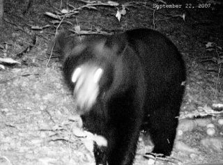 Black bear captured by the trail cam on September 22nd 2007.