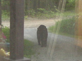 Black bear walking down the driveway in Gaylord Michigan.
