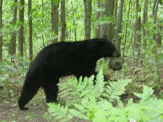 Black bear walking away with bird feeder in it's mouth. June 8 2007 CLICK FOR LARGER IMAGE.