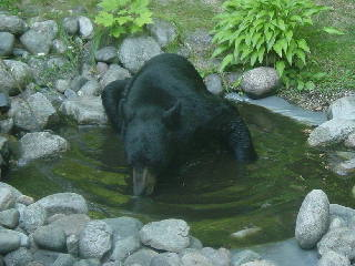 Black bear drinking out of our garden pond 07-23-07.