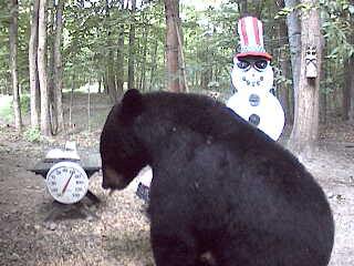 Big black bear visiting the Snowman Cam
