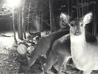 Deer at night visiting the Snowman Cam.