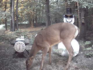Whitetail deer feeding in front of cam. June 20, 2007