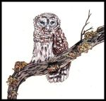 Owl perched on a branch. Painting courtesy of Tansy Phillips.